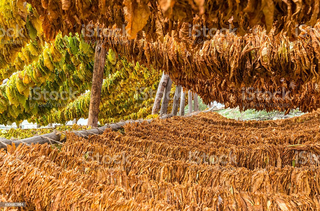Classical way of drying tobacco stock photo