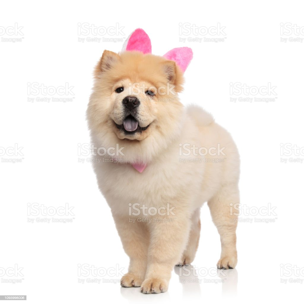 Classy Chow Chow Wearing Pink Rabbit