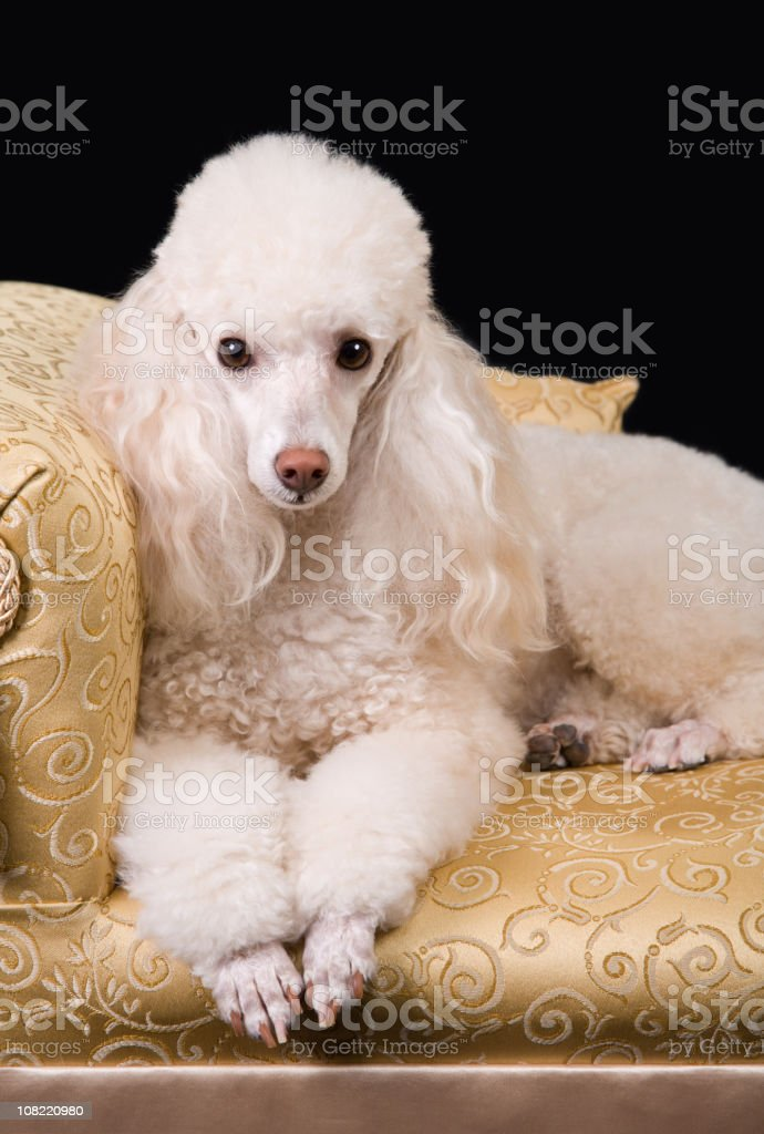 Classy Poodle royalty-free stock photo