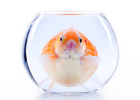 Pearl Scale fish in small fishbowl