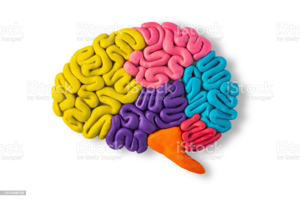 Clay Model Of Human Brain Anatomy Stock Photo More Pictures Of