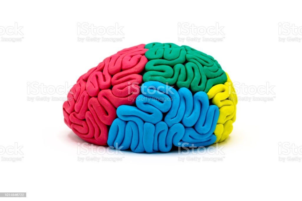 Clay Model Of Human Brain Anatomy Stock Photo & More Pictures of ...