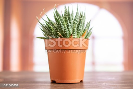 Aloe aristata plant closeup in a pot with pebbles in a room with spanish window