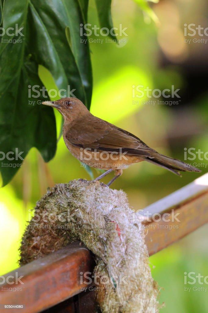 Clay-colored Thrush Bird Portrait, National Bird of Costa Rica.