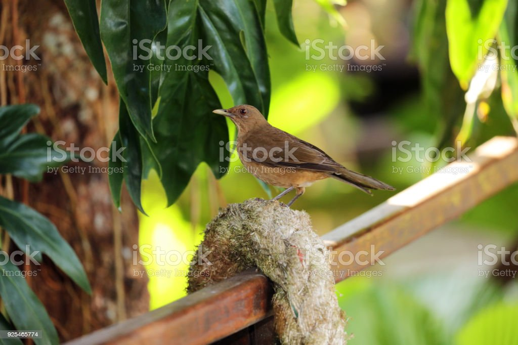 Clay-colored Thrush , National Bird of Costa Rica.