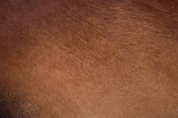 Clean brown coat of hair on a cow Cow coat texture of a brown cow. cowhide stock pictures, royalty-free photos & images