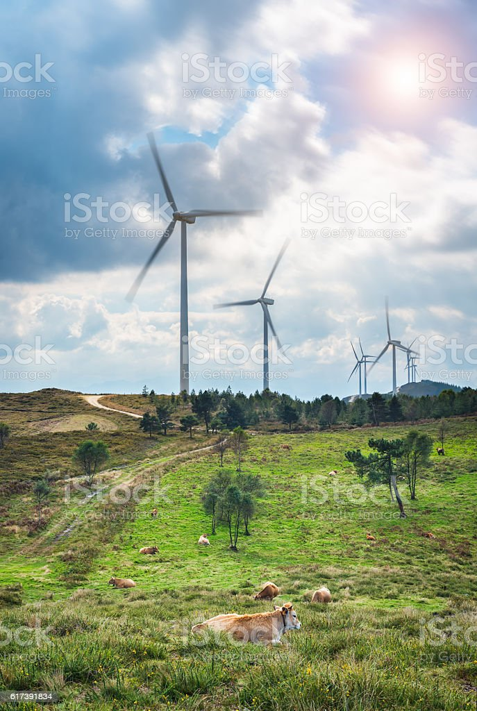 Clean energy wind turbines at rural landscape with cows stock photo