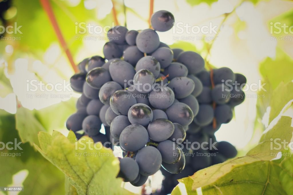 Clean Fresh Grapes Not Nitrates And Chemistry In The Home Garden Of A Village In Bulgariadefocus In Background Stock Photo Download Image Now Istock