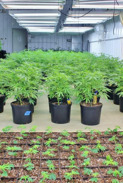 Clean modern commercial cannabis garden stock photo
