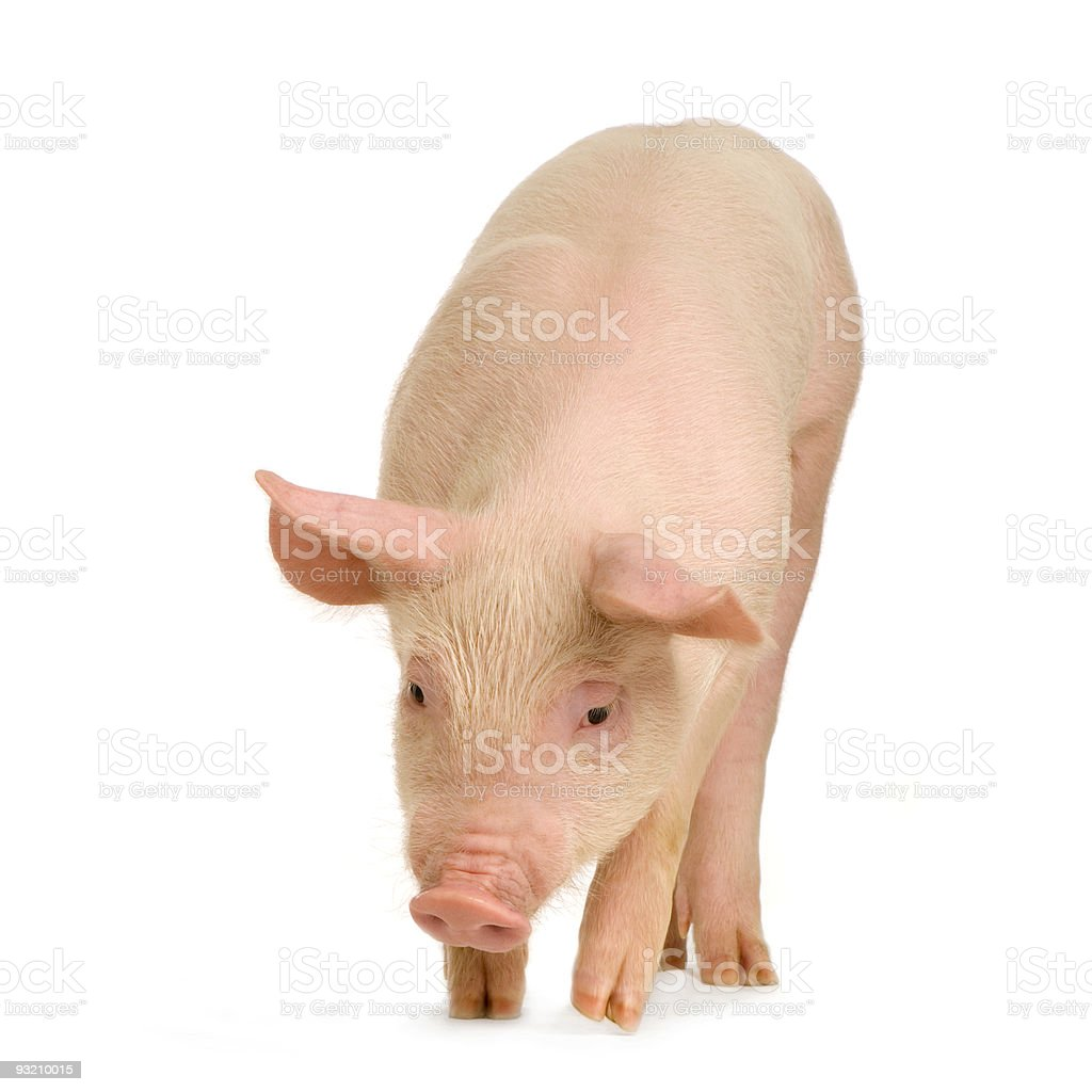 Clean, pink pig on white background stock photo