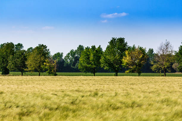 clean, relaxing nature. beautiful cornfield with green trees stock photo