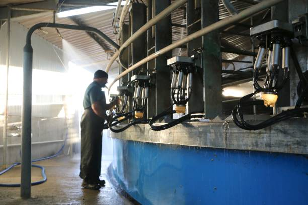 Clean up at the end of milking Hanging the cups on to the betters for the wash cycle at the end of milking dairy farm stock pictures, royalty-free photos & images