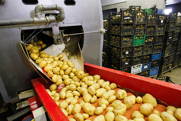 Cleaned potatoes on conveyor belt stock photo