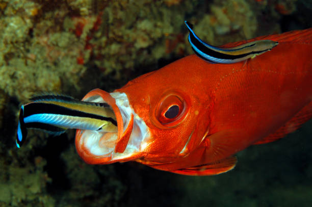 Cleaner Wrasses and Bigeye stock photo
