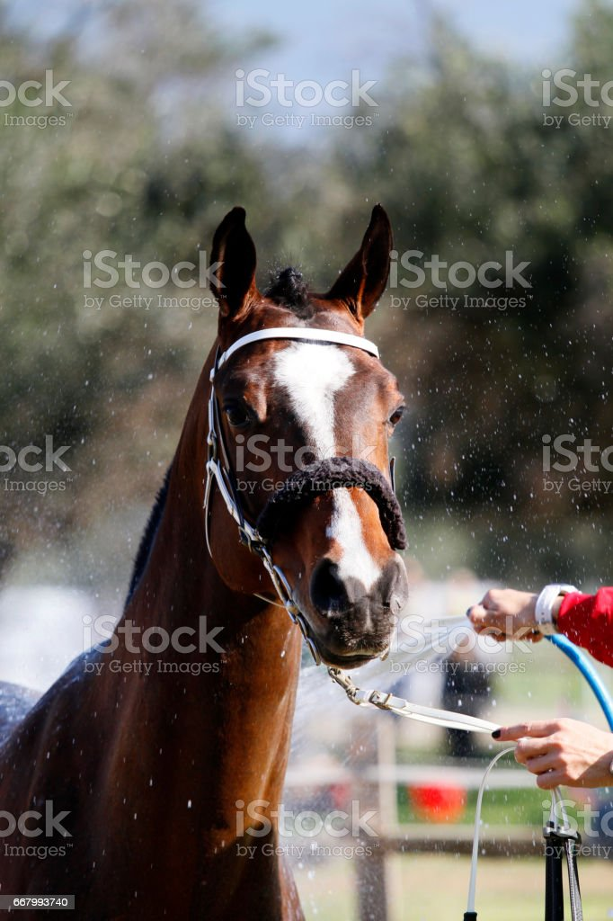 Cleaning a horse stock photo