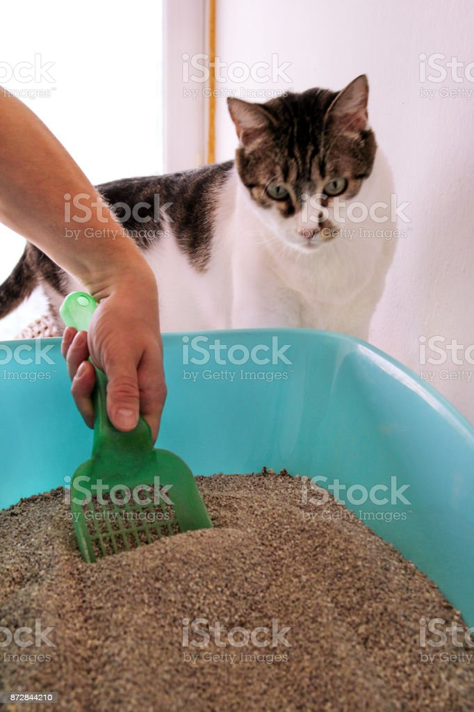 Cleaning cat litter box. Hand is cleaning of cat litter box with green spatula. Toilet cat cleaning sand cat. Man hand and cat litter box. A cat looking at her own poop in the blue litter box. stock photo