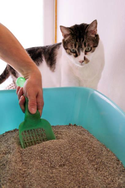 Limpeza de caixa de areia do gato. Mão é limpeza da caixa de areia do gato com espátula verde. Gato de banheiro limpeza de areia de gato. Homem caixa de areia de mão e gato. Um gato olhando para seu próprio cocô na caixa de areia azul. - foto de acervo