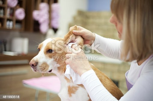 Groomer working on dog in pet grooming salon. She cleaning dog ears