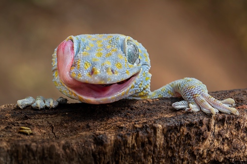 Tokay gecko cleaning own eye from dew