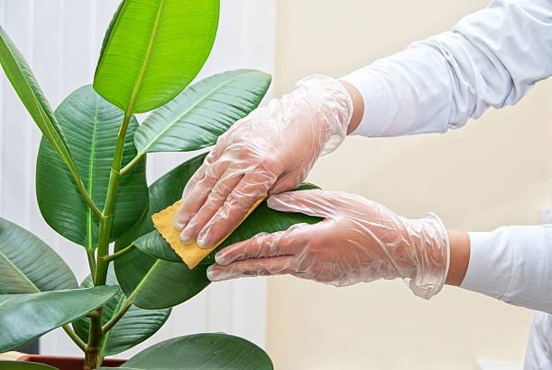 Reinigung ficus plant – Foto