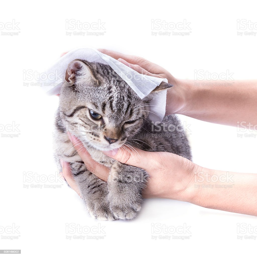 cleaning hair cat by baby wipes ,isolated on white background. stock photo