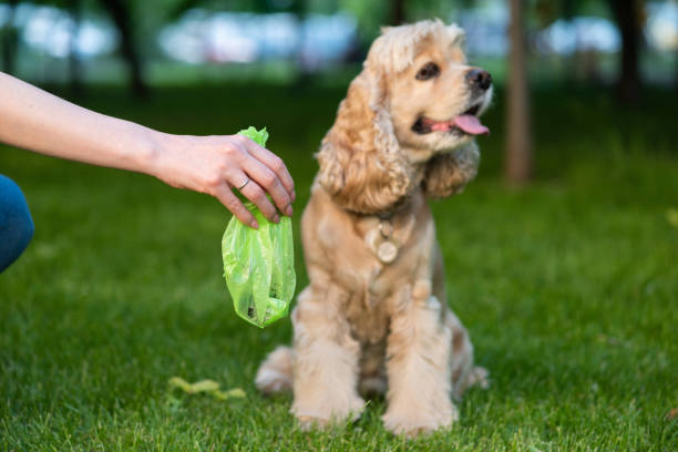Cleaning of cocker spaniel shit in park Female hold green plastic bag with pet turds. Picking up dog poop. poop stock pictures, royalty-free photos & images