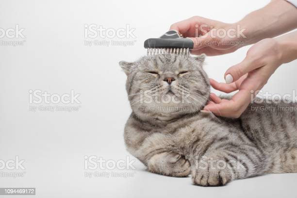 Cleaning the coat of a scottish cat a veterinarian isolated picture id1094469172?b=1&k=6&m=1094469172&s=612x612&h=jakbpd6rqkrodcudgvscz 5 g1juvoa7n9evm9lmgjy=