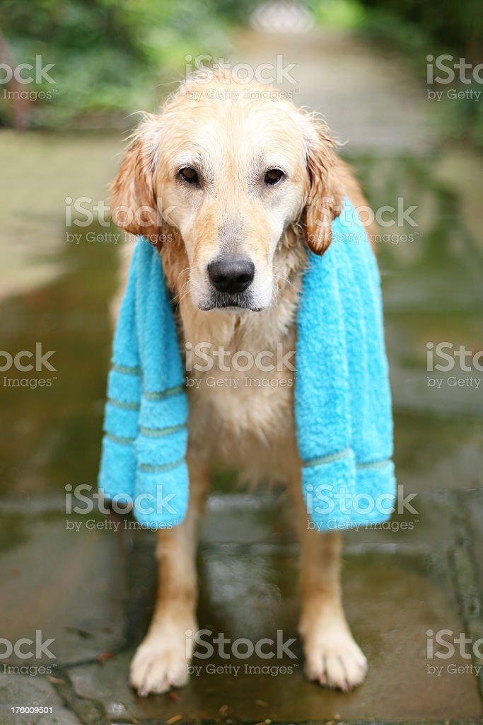 Cleaning the dog royalty-free stock photo
