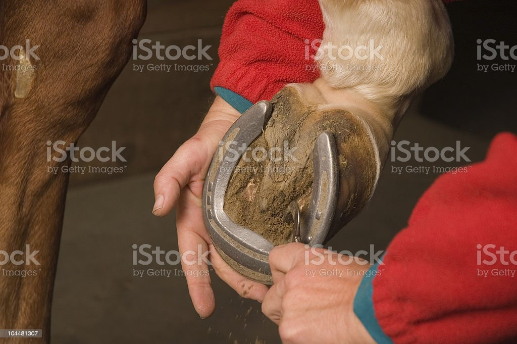 Cleaning the horses hoof royalty-free stock photo