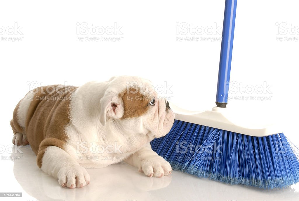 cleaning up after the dog royalty-free stock photo