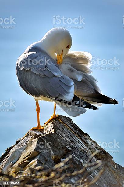 Photo of cleans feather seagull on the rock