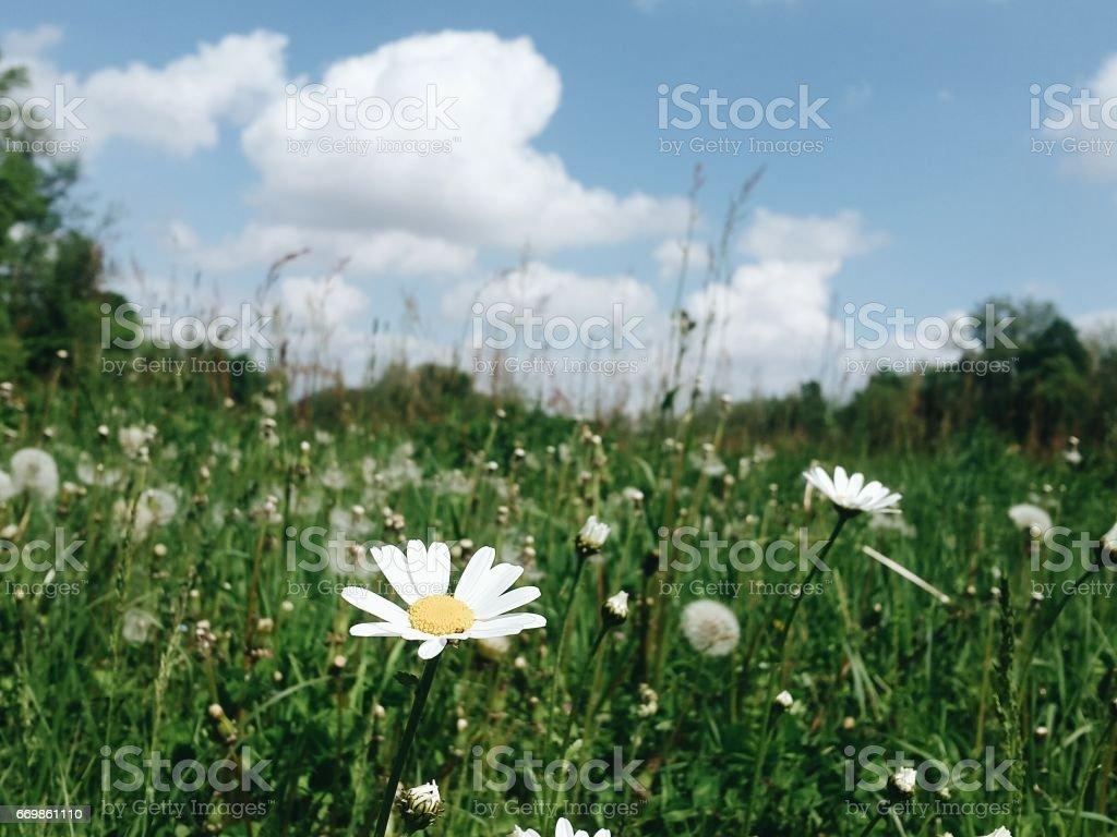 Clear Blu Sky With White Alpine Flower Stock Photo More Pictures