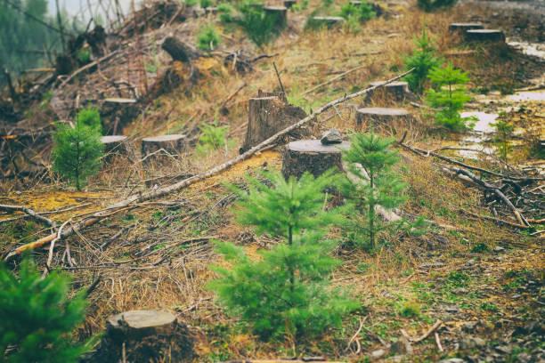 명확한 replanted 나무 묘 목으로 영역을 로깅 - 목재 공업 뉴스 사진 이미지