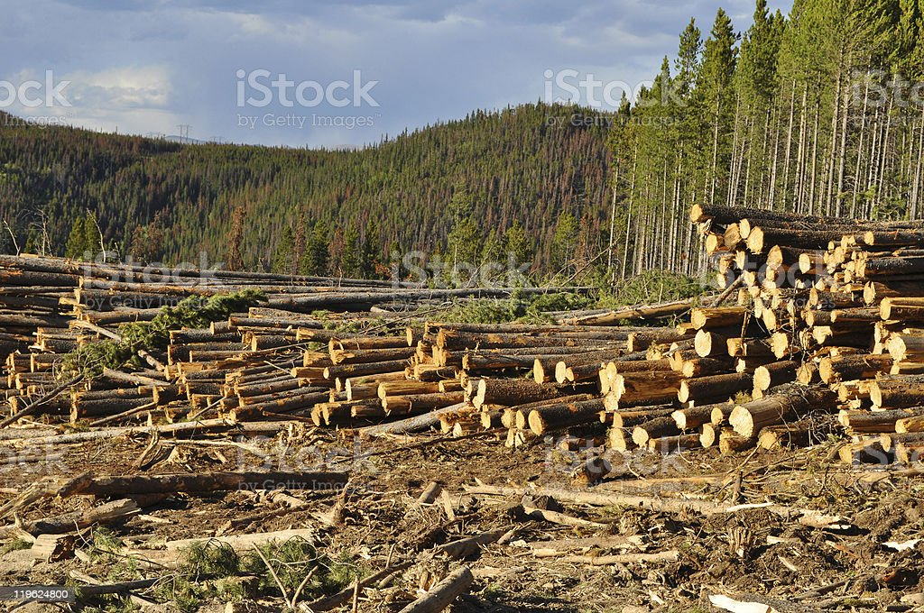Clear Cutting / Logging a Pine Forest royalty-free stock photo