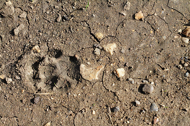 footprint of fox vulpes vulpes in soft mud - whiteway fox stock photos and pictures