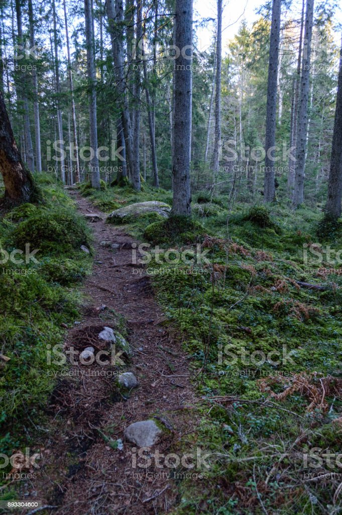 clear morning in the woods. spruce and pine tree forest with trunks in summer stock photo