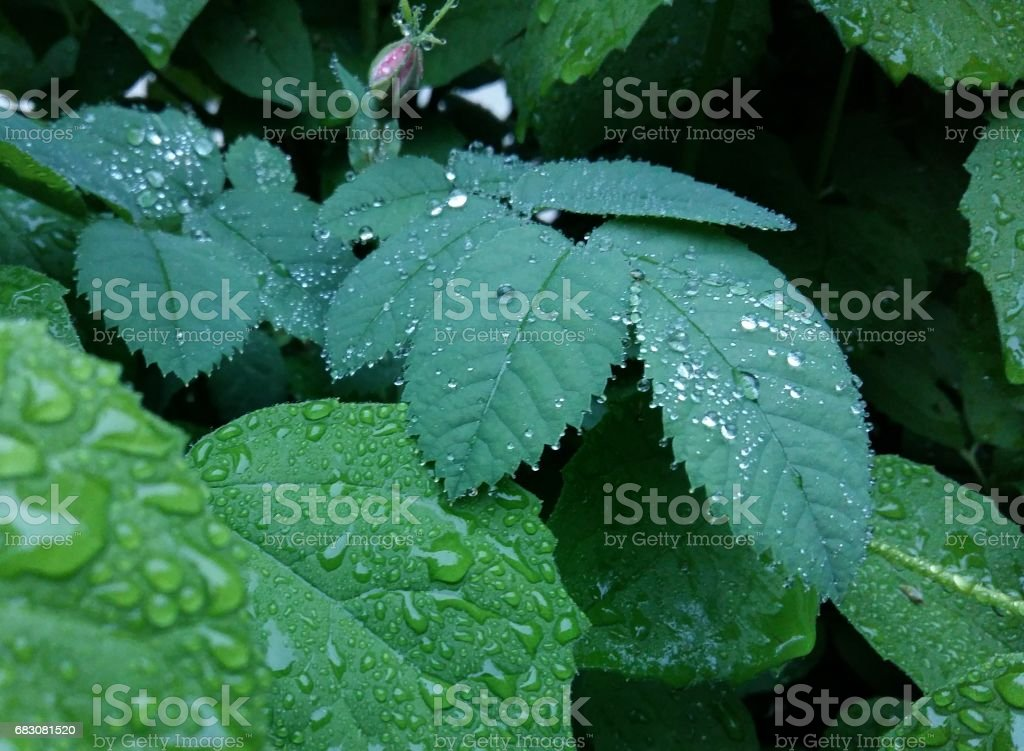 Clear raindrops form delicate patterns on a gently swaying leaf. foto de stock royalty-free
