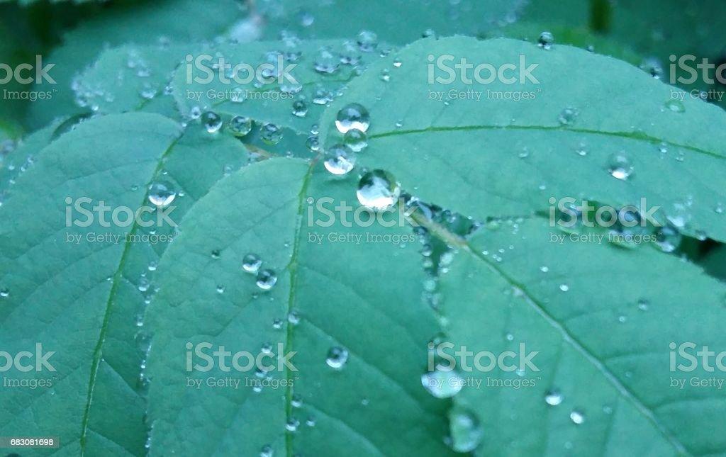 Clear raindrops form delicate patterns on a gently swaying leaf. zbiór zdjęć royalty-free