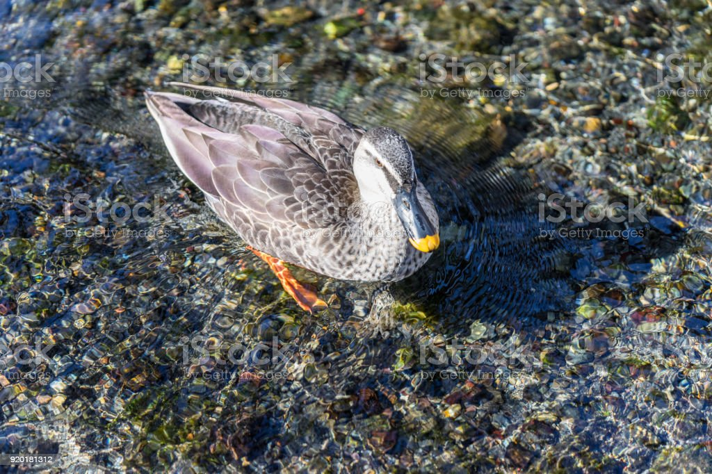 Clear stream and spot-billed duck stock photo