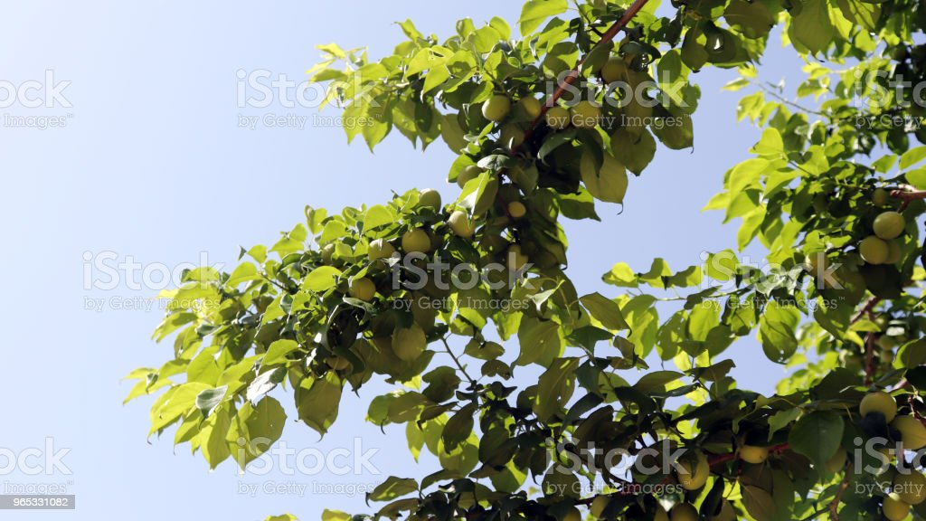 A clear view of the sky in May with plum trees. royalty-free stock photo