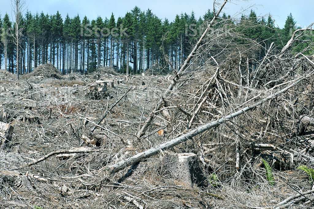 Clearcut area with slash piles and border of living trees royalty-free stock photo