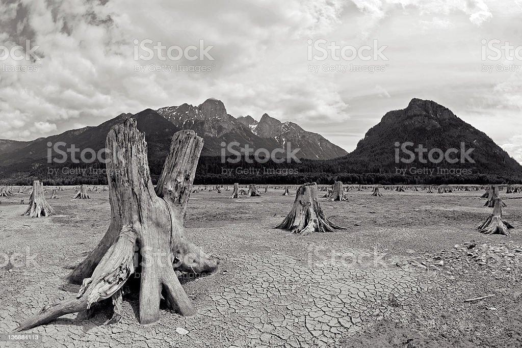 clearcut tree stumps royalty-free stock photo