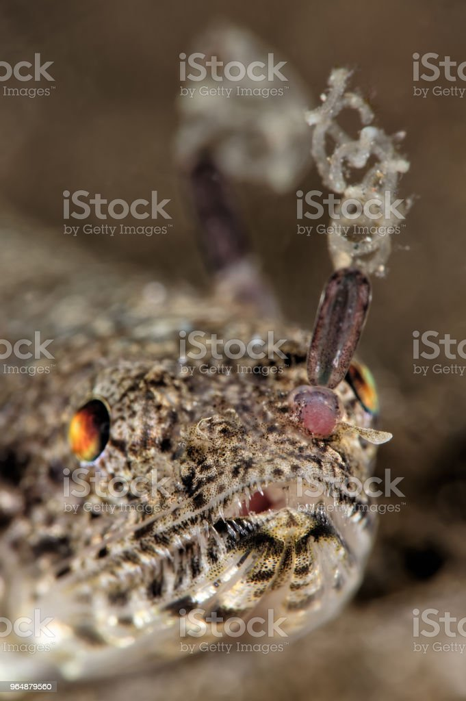 Clearfin lizardfish with copepod parasite royalty-free stock photo