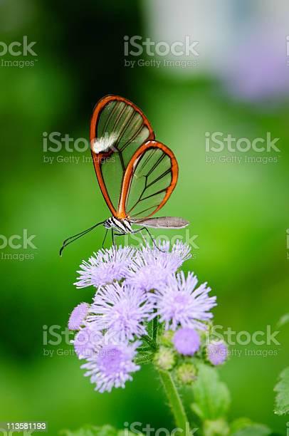 Clearwing butterfly picture id113581193?b=1&k=6&m=113581193&s=612x612&h=d hdhtlt4sc5jkbmymatidwt9swdvtqkwv bi5icj9s=