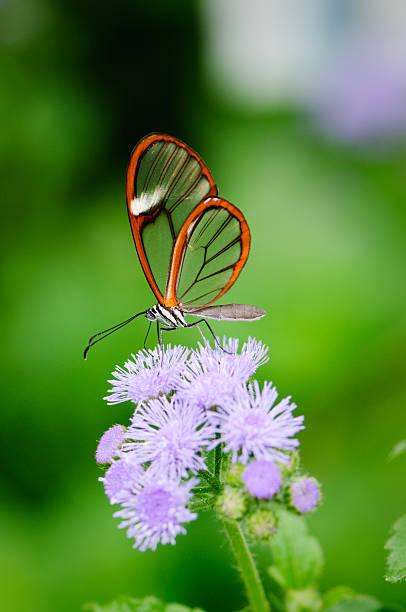 Clearwing Butterfly (Greta oto) stock photo