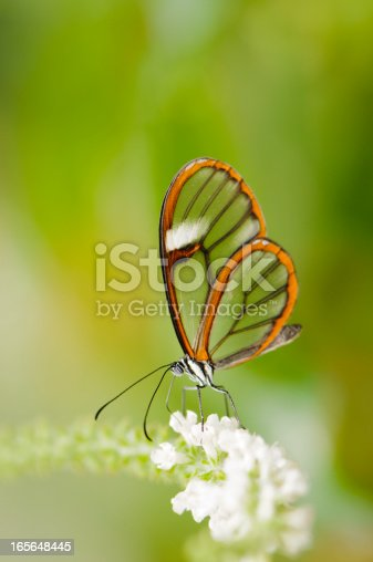 The tropical clearwing butterfly (Greta oto) feeding on a flower.  These butterflies are found throughout central and south America.  This one is from Costa Rica.