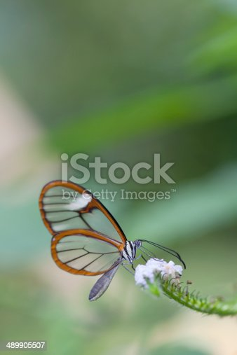 The Glasswinged butterfly (Greta oto) is a brush-footed butterfly, and is a member of the subfamilyDanainae, tribe Ithomiini, subtribe Godyridina. G. oto adults also exhibit a number of interesting behaviors, such as long migrations and lekking among males.