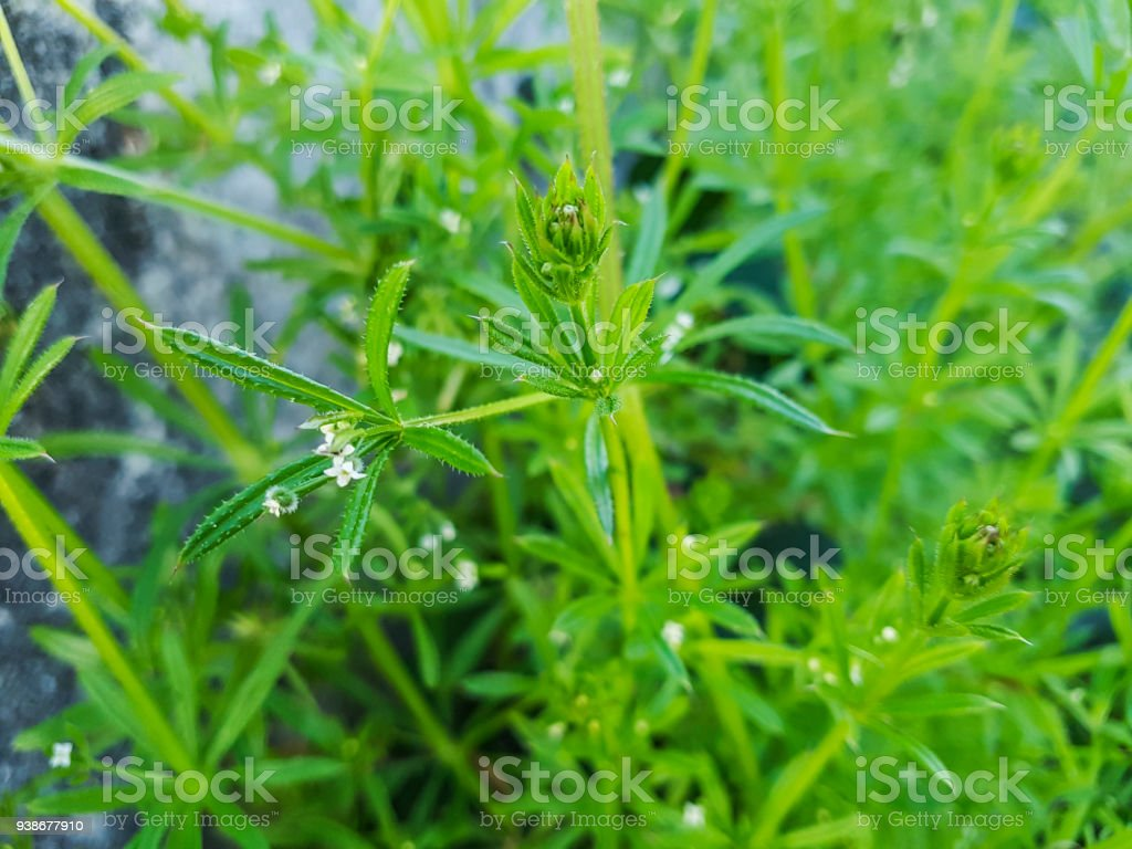 Cleavers, goosegrass or catchweed stock photo