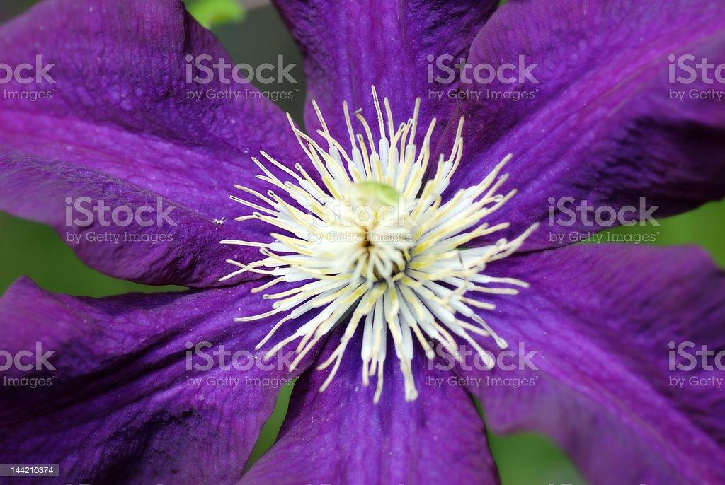 Clemantis bloom stock photo