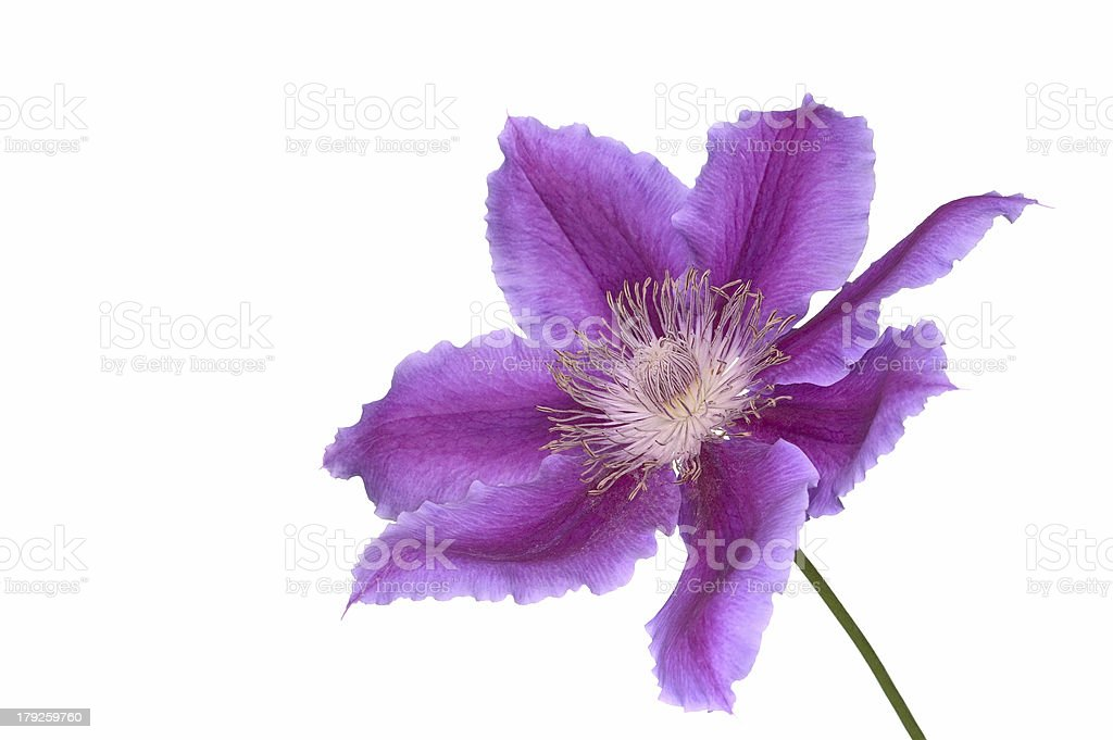 Clematis and stem royalty-free stock photo